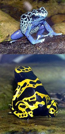 Blue-poison.dart.frog.and.Yellow-banded.dart.frog.arp.jpg// Poison dart frog (also known as dart-poison frog, poison frog or formerly known as poison arrow frog) is the common name of a group of frogs in the family Dendrobatidae which are native to Central and South America. These species are diurnal and often have brightly colored bodies.
