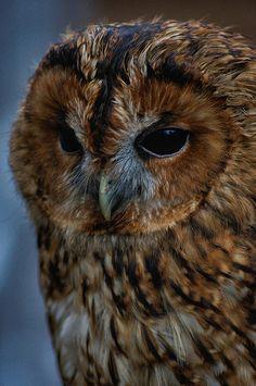 Tawny Owl by vinnie p2010