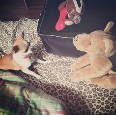 ❤️ Ashley (fille de Wendy et Sammy) vs le toutou d'orignal ❤️ www.machupitouchihuahua.com