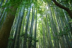 Surrounding by bamboos .. What do you feel ? #Japan #bamboo #Kyoto