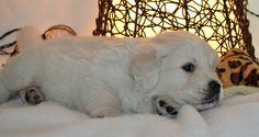 English Cream Golden puppy :)