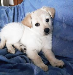 New puppy Nala  #sweet #dog #puppy #cute #cuteness #cuddle #beauty #carino #coccoloso #peloso #dolcezza #cane #cucciolo #nala #newborn #sweety #love #instapuppy #instacute #instadog #chien by guru96t