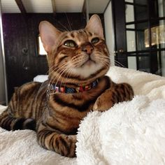 PIPPA THE TOYGER CAT - blend of Bengal and striped domestic shorthair cat to have markings resembling tiger stripes. No wild blood in them. Baby Cats, Cats And Kittens, Baby Animals, Cute Animals, Funny Kittens, White Kittens, Adorable Kittens, Toyger Kitten, Bengal Kitten