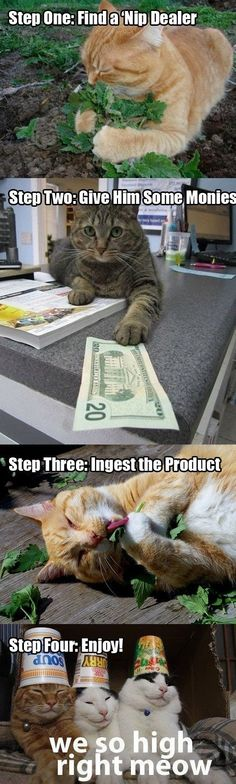 The story of the cat nip