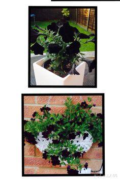 Black flowers in white pots