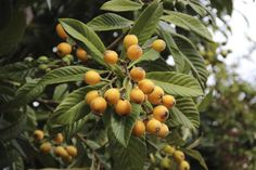 Loquat Trees are a very low maintenance food producing plant for the South Bay region.