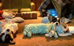 hahahaha! awww corgi puppies in pajamas!