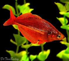 Bilde fra http://www.aquariumfish.net/images_01/trifasciata_rainbowfish_120318a9_w0480.jpg.