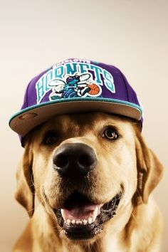 Dog with Hornets Cap