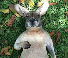Sleeping kangaroo 'Roo's just chillin' Saint Yves, Animal Pictures, Cute Pictures, Animals Beautiful, Cute Animals, Beautiful Creatures, Funny Animals, Happy Australia Day, Australia Kangaroo