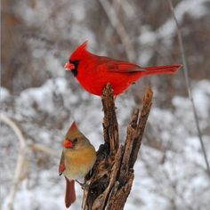 Cardinals male and female