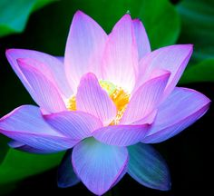 The Beautiful Lotus Flower...This flower has the ability to thrive in the harshest conditions