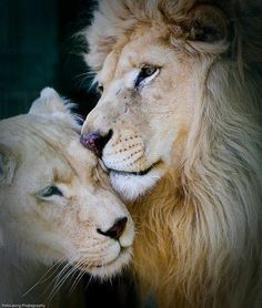 Lion And Lioness on Pinterest | Tiger Photography, Female ...
