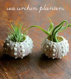 Start building your very own air plant assortment with this duo of tillandsia varieties. Two sputnik sea urchin shells make the perfect size planter for medium size air plants, and this kit includes one each of Ionantha Guatemala and Caput Medusae. Arrange the pair on a windowsill or desktop, in view of the sun, and enjoy your new greenery.