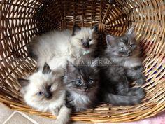 Siberian Kittens Litter AB5