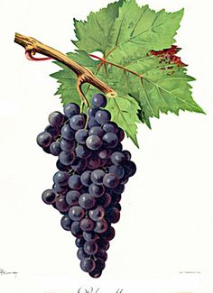 Grapes fine art prints of classic grapes by Artsag on Etsy, $7.00
