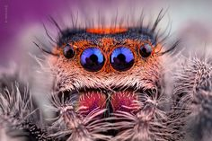 The itsy bitsy (funky) Spider Beautiful Bugs, Beautiful Butterflies, Insect Eyes, Undersea World, Cool Bugs, Jumping Spider, Camera World, Fotografia Macro, Bugs And Insects