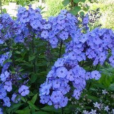 'Blue Paradise' Garden Phlox