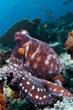 Octopus at Sipadan