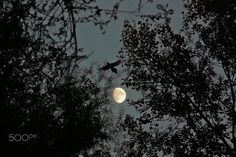 Eurasian magpie and moon // Urraca común (Pica pica) y luna - null