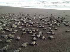 Baby turtles heading to the sea...Monterrico Beach, Guatemala