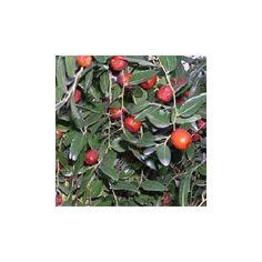 Ziziphus jujuba, semillas de azufaifo o azufeifa en venta aqui para sembrar. #azufaifo #azufeifa #semillas #ziziphus #frutas