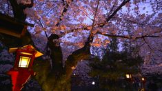 See the Cherry Blossoms Japan Spring Has Sprung, Cherry Blossoms, Tourism, Channel, Japan, Adventure, Sunset, Water, Plants