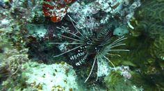 Video Lionfish | Pata Negra Dive Center Bohol Philippines, Diving, Islands, Beach, Scuba Diving, The Beach, Beaches