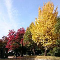 吹上公園その2良い天気ヽ(・∀・)ノ 木の近くではもしかしてとれたて!?のギンナン売ってました❗❕ #紅葉#東亜和裁紅葉まつり2016 #吹上公園#名古屋#東亜和裁#青空