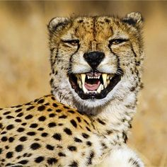 Male cheetah having a laugh Large Animals, Animals And Pets, Funny Animals, Cute Animals, I Love Cats, Big Cats, Cats And Kittens, Beautiful Cats, Animals Beautiful
