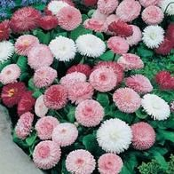 BELLIS perennis Goliath Mixed  - Paralute Indoor Garden, Indoor Plants, Bellis Perennis, Cold Frame, Water Well, Flower Seeds, Spring Colors, Warm Colors, Daisy