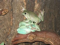 Wesley, Buttercup & Humperdinck - Whites Tree Frogs...  Love the names!  :)