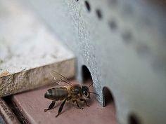 Prendre soin de son rucher c'est notamment connaître les maladies et parasites les plus courants pouvant toucher les abeilles. Rustica vous donne ses conseil...