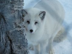 La volpe artica - Polar fox (Gabriele Formentini, Polar Zoo, Bardu)