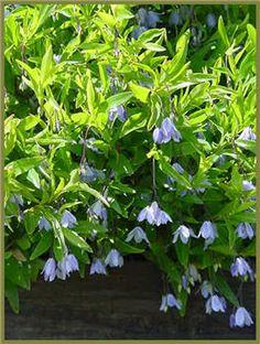 Australian Bluebell   http://www.zanthorrea.com/info/Australian_Cottage_Garden.pdf