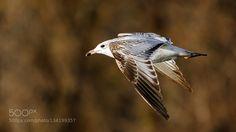 Ring-Billed Gull by cmcneill17. @go4fotos