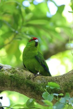 Red-fronted Kakariki (New Zealand).  They sound like little goats!