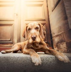Purrpaws Forografie Dog Photography Natalie Gross Wirehaired Vizsla Dog Wirehaired Vizsla, Vizsla Dog, Hungarian Vizsla, Hunting Dogs, Dog Photography, My Images, Dog Breeds, Dogs And Puppies, Bronze