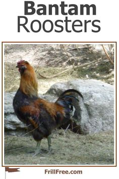 Bantam Roosters; small birds with big attitude... Napoleon Complex, Broody, Chicken Breeds, Small Birds, Small Breed, Roosters, Chickens Backyard, Poultry, Attitude