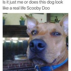 Scooby Doo was real all these time – Funny Dog Memes Animals And Pets, Baby Animals, Funny Animals, Cute Animals, Dog Memes, Funny Memes, Videos Funny, Jokes, Funny Dogs