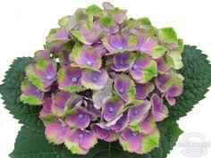 Hydrangea Paniculata 39 Kolmamon 39 Syn Hydrangea Paniculata