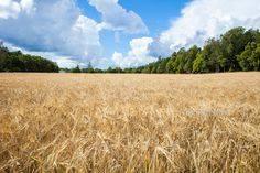 By Ann-Kristina Al-Zalimi, landscape, kirkkonummi, cornfield, finland, viljapelto, oitbacka