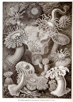 Ernst+Haeckel+SEA+CORALS+Art+Print+Vintage+by+NaturalistCollection,+$6.00