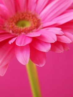 Gerbera Daisy - Colors: Hot Pink and Lime Green