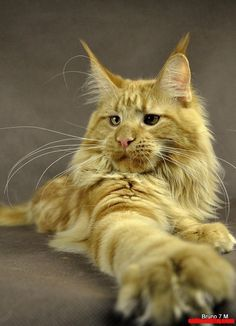 Bruno – Maine Coon cat | Cute cats HQ Free pictures of funny cats ...