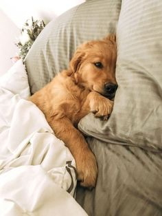 Dog And Puppies Golden Retriever .Dog And Puppies Golden Retriever Pet Dogs, Dogs And Puppies, Dog Cat, Doggies, Pet Pet, Puggle Puppies, Puppy Husky, Dogs In Bed, Baby Dogs