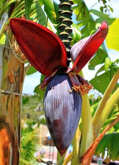 Learn in detail about how to clean a banana flower before cooking. Banana flower is extensively used in Asian cuisine. Unusual Flowers, Unusual Plants, Exotic Plants, Amazing Flowers, Beautiful Flowers, Banana Blossom, Banana Flower, Tropical Garden, Tropical Flowers