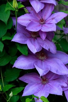 Purple Clematis Vine by carolraderphotos on Etsy