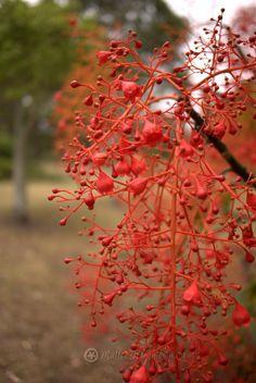 Luxury garden Design - The Iconic Illawarra Flame Tree Brachychiton acerifolius. Australian Garden Design, Australian Native Garden, Australian Native Flowers, Australian Plants, Simple Garden Designs, Modern Garden Design, Landscape Design, Design Azul, Sydney