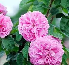 Картинки по запросу Rosa damascena